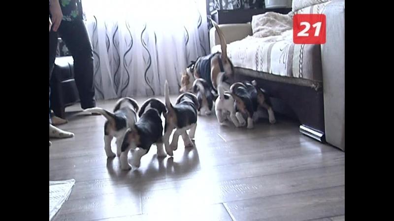 Из плюшевых комочков в маленьких охотников. Как воспитать собаку породы бигль?