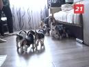 Из плюшевых комочков в маленьких охотников Как воспитать собаку породы бигль