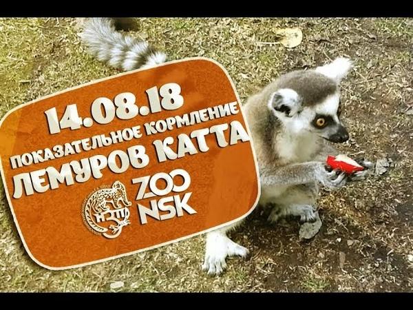 14.08.18 Показательное кормление Лемуров Катта в Новосибирском Зоопарке имени Р.А. Шило