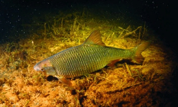 ПЛОТВА Плотва это стайная или полупроходная рыба из семейства карповых, обитающая, как в водоемах с пресной, так и в водоемах с полусоленой водой. Для любителей рыбной ловли эта рыба интересная