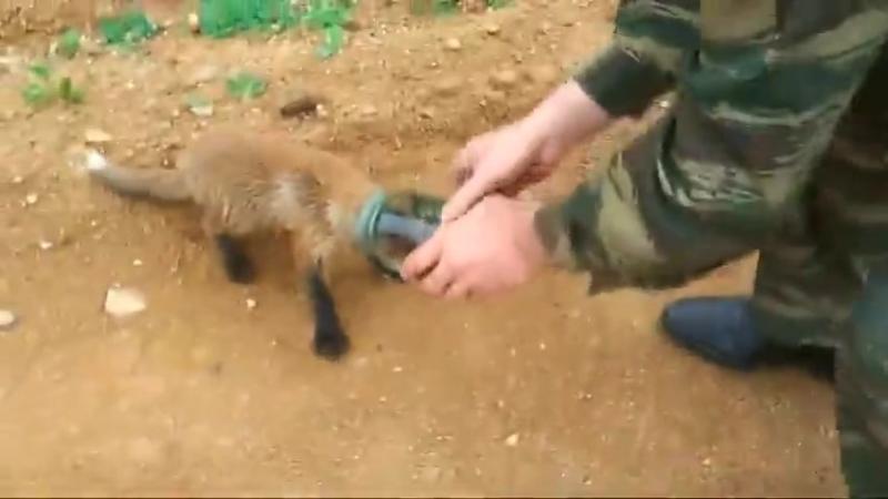 Лисёнок сам подошёл к охотникам за помощью