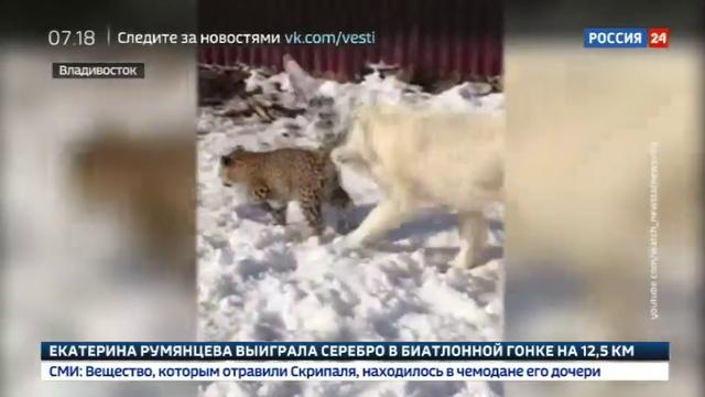 Новости на Россия 24 • Среднеазиатская овчарка взяла под свою опеку детеныша персидского леопарда » Freewka.com - Смотреть онлайн в хорощем качестве
