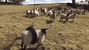 Sheep STUCK in a rope swing - Create, Discover and Share Awesome GIFs on Gfycat