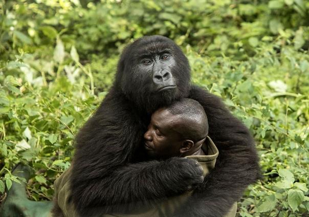 «Человеческие объятия» Не будет преувеличением сказать, что Андре Баума, главный смотритель Центра сиротских горилл в Национальном парке Вирунга (ДР Конго), ежедневно рискует жизнью ради