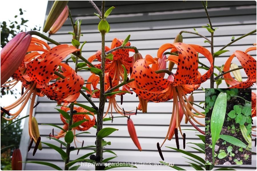 Размножение тигровой лилии бульбочками