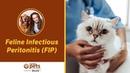 Инфекционный перитонит кошек / Feline Infectious Peritonitis FIP