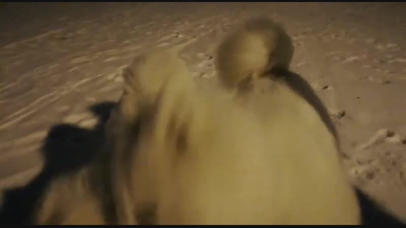 ALPHONSE HERO (Люций) 5 месяцев (White Evenk Aksay Snowbear × Ulastiya Wolfs Trail) , со своей подружкой