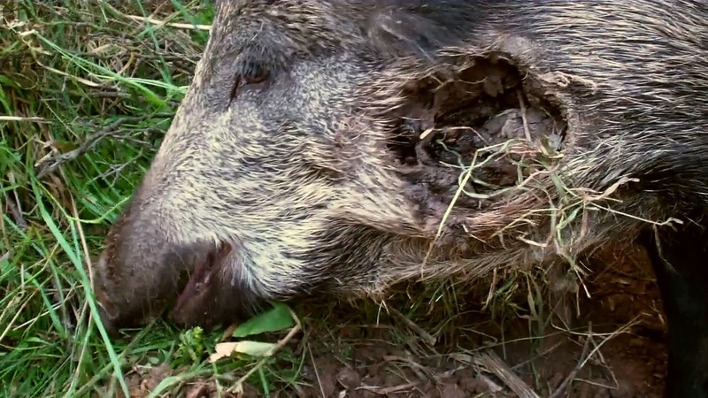 Injured wild boar