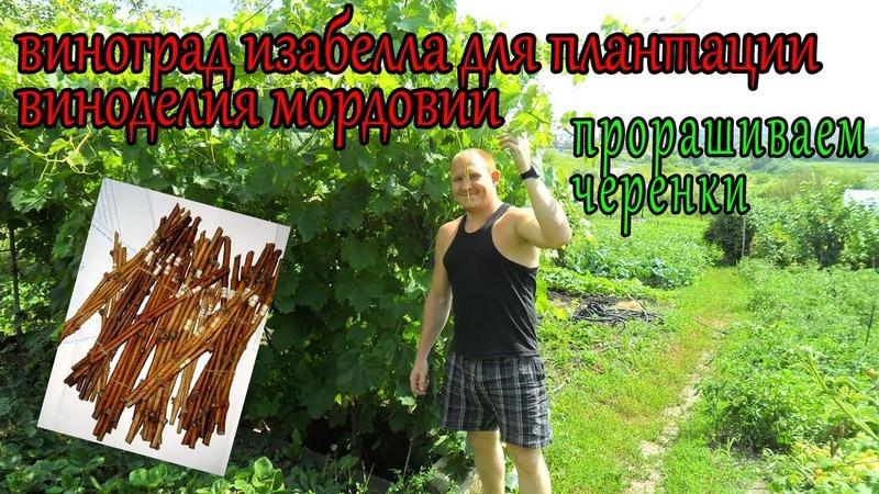 виноград для плантации изабелла и зеленый проращиваем черенки