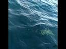 Тресковая рыбалка Баренцево