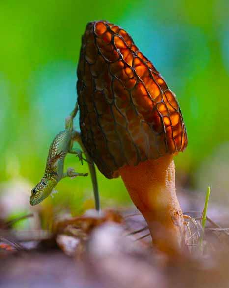 Активным психоделическим ингредиентом в волшебных грибах является псилоцибин.