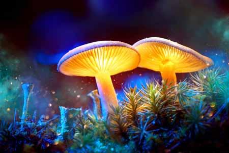 Псилоцибиновый гриб является одним из полифилетических групп грибов, которые содержат любое из различных психоделических соединений, включая псилоцибин, псилоцин и баеоцистин. Общие, разговорные термины для грибов псилоцибина включают психоделический ...