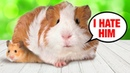 Hamster Meet Guinea Pig For The First Time and Couldn't Believe it
