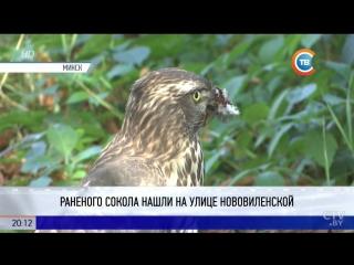В одном из дворов Минска нашли раненого сокола