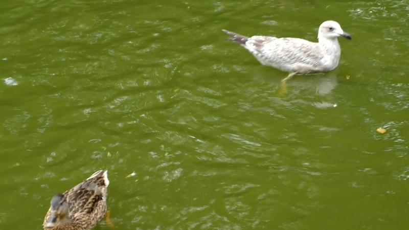 2018-08-24, уточки подкармливаются в пруду, ботанический парк, Паланга.