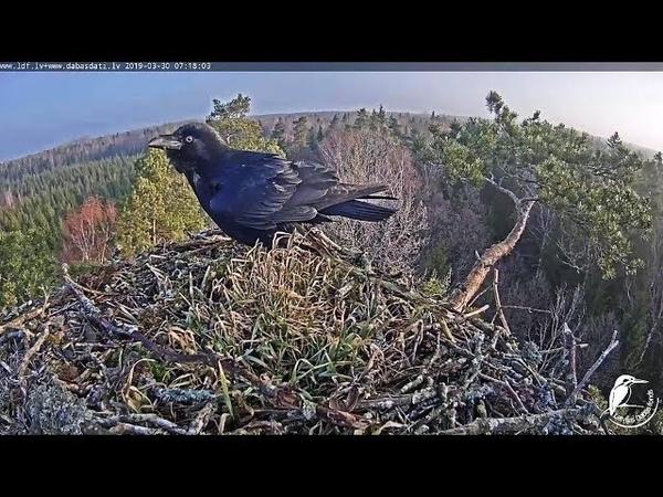LDF Zivjērglis~A raven visit the nest~7:17 AM 2019/03/30