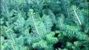 Выращивание ели голубой 5-ти летка ч 4 (корневая,выкопка) Хвойный дворик