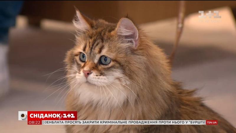 У студії Сніданку власниця сибірських котів Ольга Дудєвська та її улюблениця