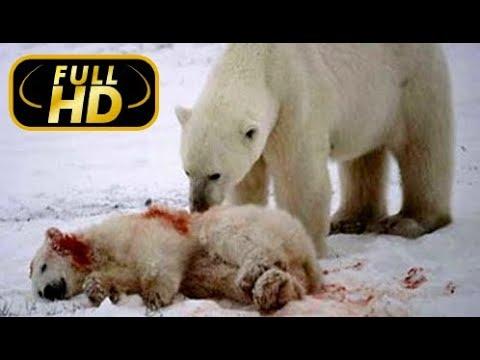 Полярный медведь Жестокое Выживание Полярного Медведя Эксклюзив FULL HD Фильм Amazing Animals