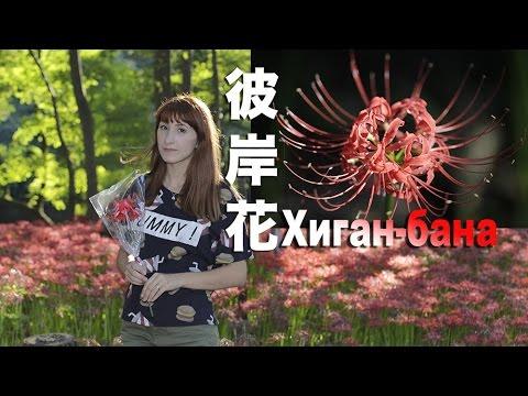 Япония: цветение Хиган-бана (паучья лилия)