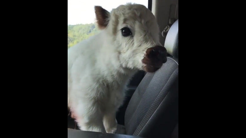 Fluffy highland calf.