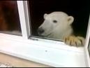Это Россия, детка Северный гость. Кормят белого медведя с окна.