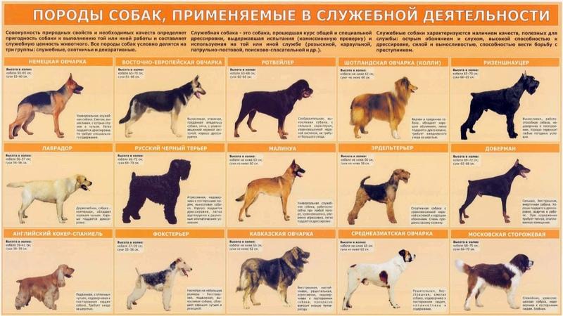 Служебные животные рассказывает кинолог Григорий Манёв
