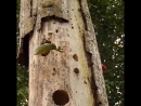 LIFE - Woodpecker vs Snake