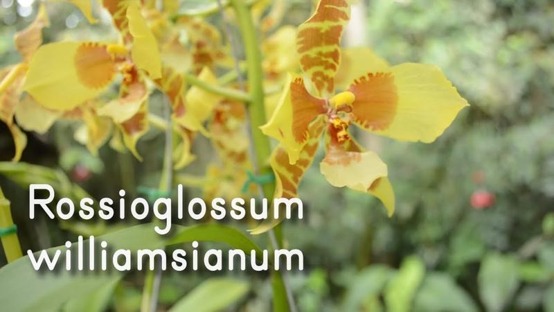 Orquídea Rossioglossum williamsianum y grande | Cuidados para una perfecta floración