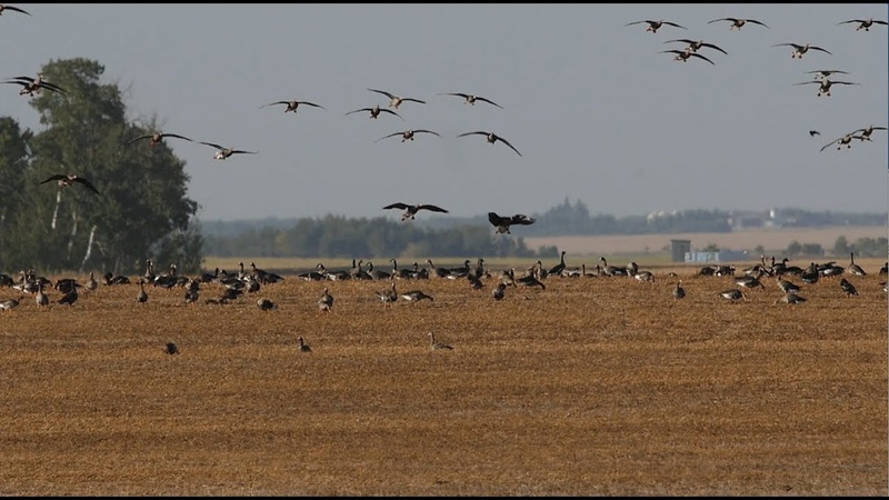 Hired to Hunt Season 4 2 Its Raining Birds - Duck and Goose Hunting. Limit Hunts in Alberta