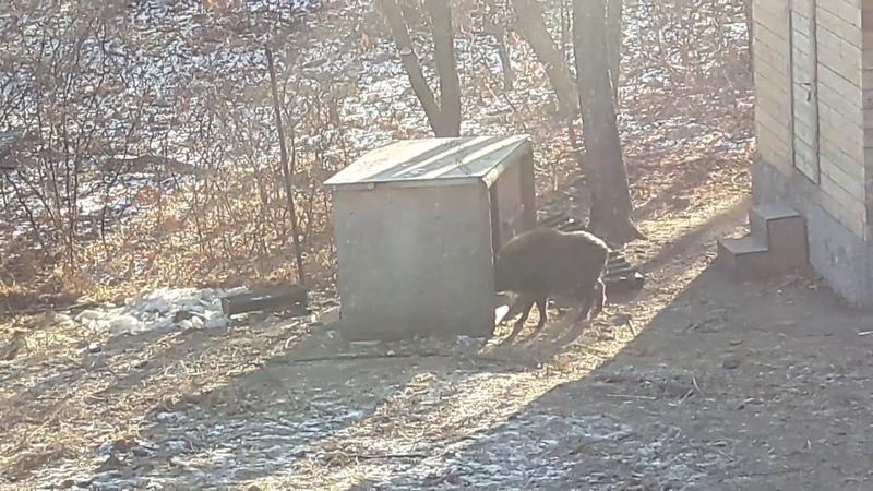 Кабан гоняется за козлом тимуритом сафари парк Приморкий край 2019 год