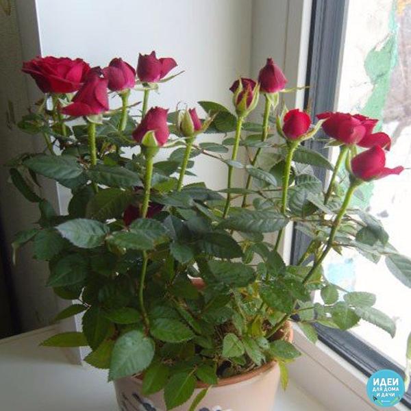 цветёт красавица! роза ароматная, или чайная (rosa odorata) оценим