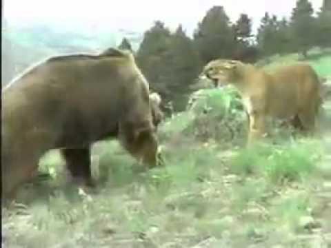 Львица против медведя защита львёнка