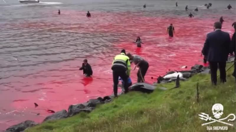 Ритуальные Жертвенные Дельфины - Люди сошли с ума ...