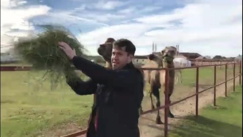 Верблюды преследуют Невеева