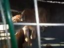 Севастополь: домашний зоопарк (пума, леопарды )