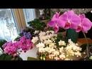 Орхидеи цветут шикарно всегда Что делаю для этого мой простой уход