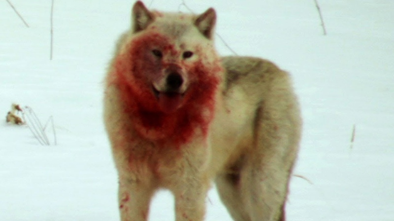 Wolf Pack Hunts Buffalo Herd   BBC Earth