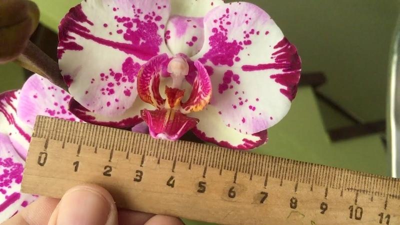 у этой ОРХИДЕИ все цветы РАЗНОГО ОКРАСА Gan Lin Beauty или Magic Art