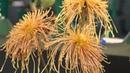 Хризантемы Beautiful chrysanthemum Прекрасные хризантемы на выставке в Австралии