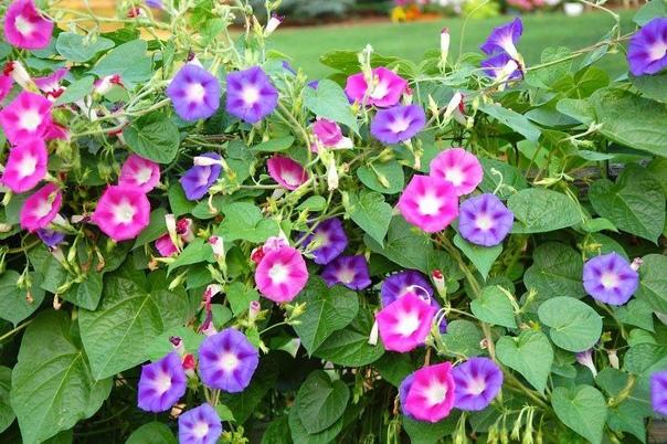 красавица ипомея яркая ипомея видна издалека,она не оставляет равнодушным ни кого.красивые сердцевидные листья ипомеи с воронковидными цветками разнообразной окраски украшают сад с июня до