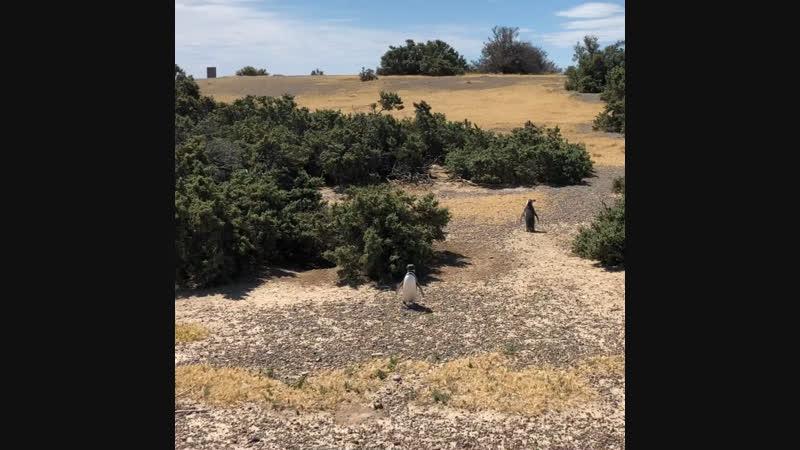 Пингвины 🐧 Пуэрто Мадрин Аргентина