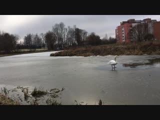 Первый лебедь 🦢 поплыл.На озере местами лёд.+5*.г.Волковыск.Беларусь.