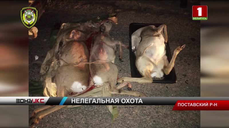 Чтобы поймать браконьеров, убивших трех косуль, в Поставах подняли пограничников и ГАИ