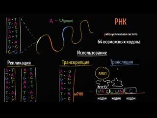 Репликация ДНК, транскрипция и трансляция РНК | Khan Academy