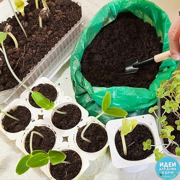 Когда и что сажаем на рассаду Рассчитать сроки посева семян овощей на рассаду несложно. Если хочется получить первый урожай к определенной дате, надо учитывать еще и продолжительность вегетации