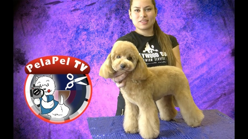 PELUQUERÍA CANINA CANICHE - GROOMING POODLE ASIAN FREE STYLE BY AZARETH CANTU