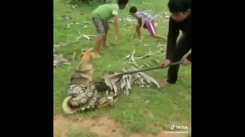 Парни спасли собаку, которую пыталась задушить и съесть змея