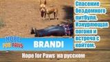 Спасение бездомного питбуля. Изнуряющая погоня и встреча с койотом Hope for Paws на русском