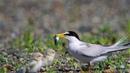 Калифорнийская крачка / Least Tern / Sternula antillarum